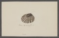 Patella spec. - - Print - Iconographia Zoologica - Special Collections University of Amsterdam - UBAINV0274 081 08 0041.tif