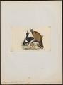 Pauxi galeata - 1820-1860 - Print - Iconographia Zoologica - Special Collections University of Amsterdam - UBA01 IZ16900083.tif