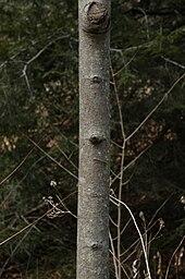 Asimina triloba - Wikipedia