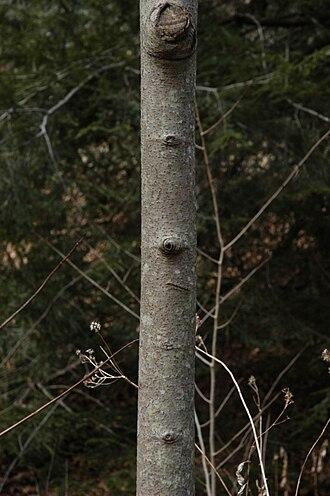 Asimina triloba - Bark