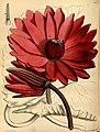 Paxton's flower garden (Plate 98) (9256200806).jpg