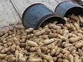 Peanuts with a Padi.JPG