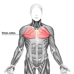 Pectoralis major he.png