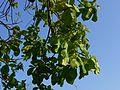Peezh (Malayalam- പേഴ്) (469576707).jpg