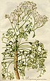 Pelargonium paniculatum D137.jpg