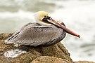 Pelecanus occidentalis at Bodega Head.jpg