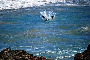 English: Brown Pelican splashing into the ocea...