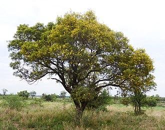 Peltophorum africanum - Image: Peltophorum africanum, habitus, c, Zoutpan