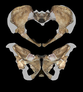 Australopithecus sediba - Image: Pelvis MH2 Australopithecus sediba