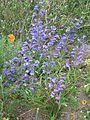 Penstemon True Blue - Flickr - peganum.jpg