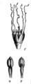 Pentaclethra macroloba Taub74b.png