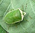 Pentatomidae. Nezara viridula - Flickr - gailhampshire (2).jpg