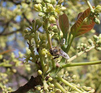 Persea - Persea americana flowers