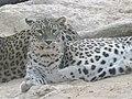 Persian Leopard 10.jpg