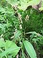 Persicaria maculosa 1.jpg