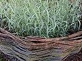 Phalaris arundinacea var. picta Feesey 2020-06-23 0616.jpg