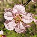 Phellodendron japonicum Бархат японский Цветение.jpg