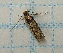 Phereoeca uterella - Wikipedia