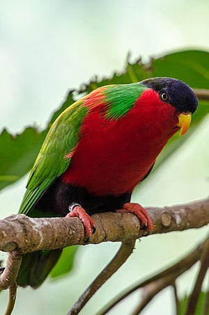 Collared lory - At San Diego Zoo