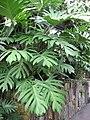 PhilodendronPinnatifidum.jpg