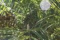 Phoenix roebelenii 25zz.jpg
