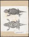 Phrynosoma orbiculare - 1700-1880 - Print - Iconographia Zoologica - Special Collections University of Amsterdam - UBA01 IZ12800099.tif