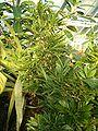 Phyllanthus arbuscula BotGardBln0906.JPG