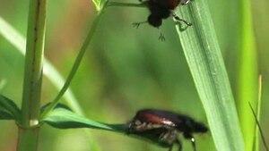 File:Phyllopertha horticola.ogv