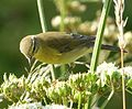 Phylloscopus trochilus. Willow Warbler - Flickr - gailhampshire (1).jpg