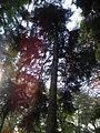 Picea orientalis 02.JPG