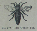 Picture Natural History - No 277 - The Queen Bee.png