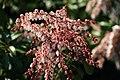 Pieris japonica Dorothy Wyckoff 7zz.jpg