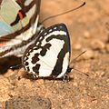Pierrot (Castalius sp) (16445233896).jpg