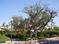 PikiWiki Israel 5689 old sycamore tree in ramat gan.jpg