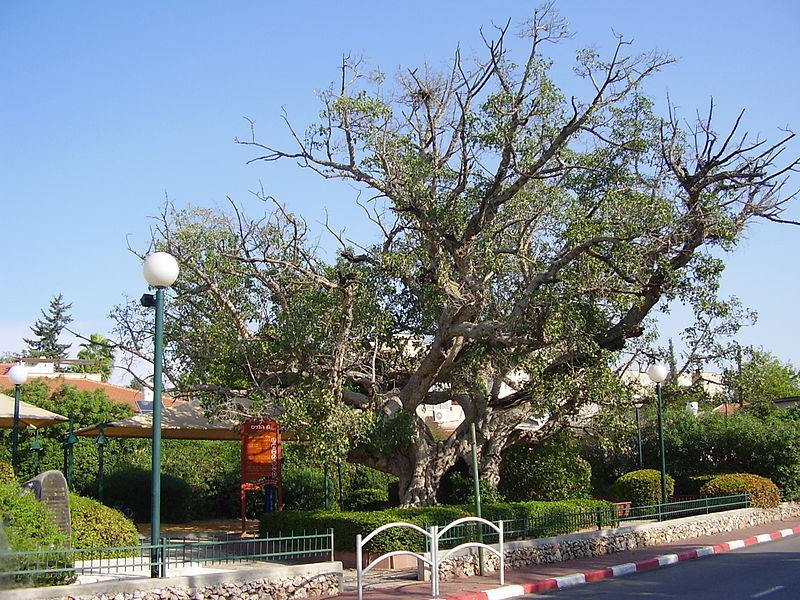 השקמה העתיקה בשכונת רמת שקמה ברמת גן