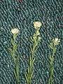 Pimelea simplex Longreach 4989.jpg