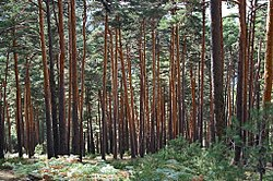 Wild pine Forest with fern ground cover.