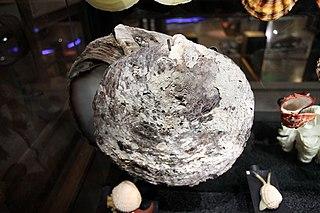 <i>Pinctada maxima</i> species of mollusc