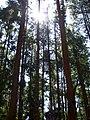 PineForest.jpg