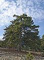 Pines in Mersin 01.jpg