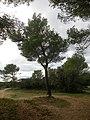 Pinus Halepensis dans la forêt de Fontvieille (13).jpg