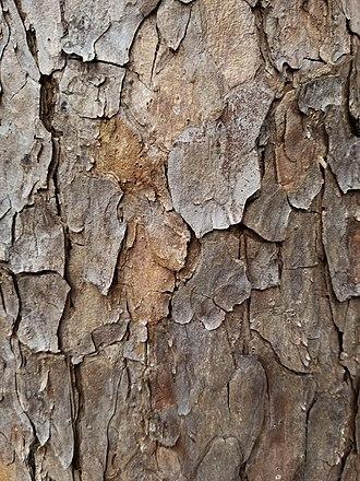 Pinus echinata - Image: Pinus echinata bark detail 2