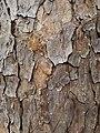Pinus echinata bark detail 2.jpg