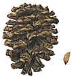 Pinus heldreichii cone illustration.jpg
