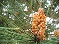 Pinus pinaster (Male Cones).jpg