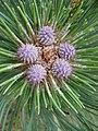 Pinus ponderosa brachyptera conelets.jpg