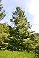 Pinus wallichiana (arboretum du vallon de l'Aubonne).JPG