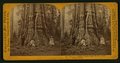 Pioneer's Cabin, near view, diameter 32 ft. Mammoth Grove, Calaveras County, by Lawrence & Houseworth 4.png