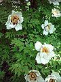 Piwonia drzewiasta Paeonia suffruticosa var. 1.jpg