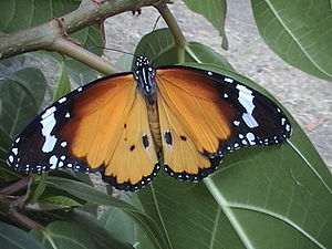 Kleiner Monarch (Danaus chrysippus), ♂